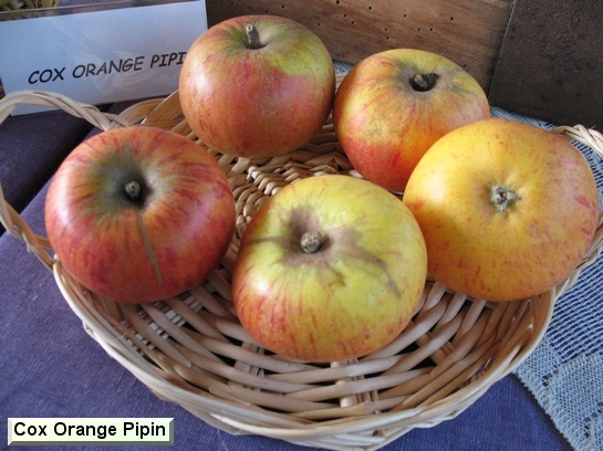 Pomme Cox Orange Pippin